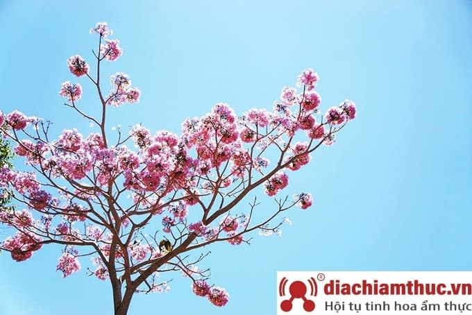 Hoa phấn hồng