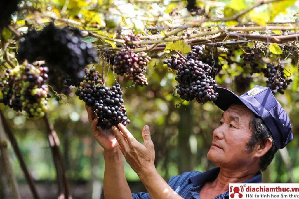 Vườn nho Tây Ninh